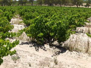massena_vineyards_old_vines