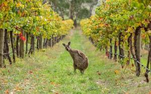 kangaroo-vineyard