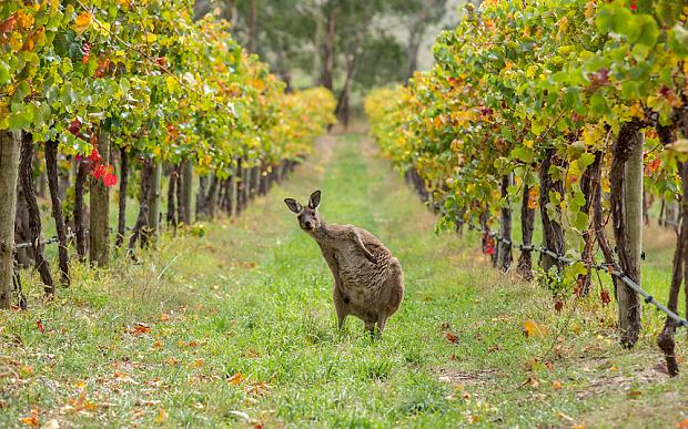 Australien som kontinent og vinland