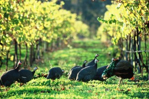 Guinea-Fowl-in-vineyard-Cape-Grace