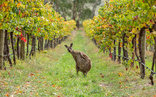 kangaroo-vineyard