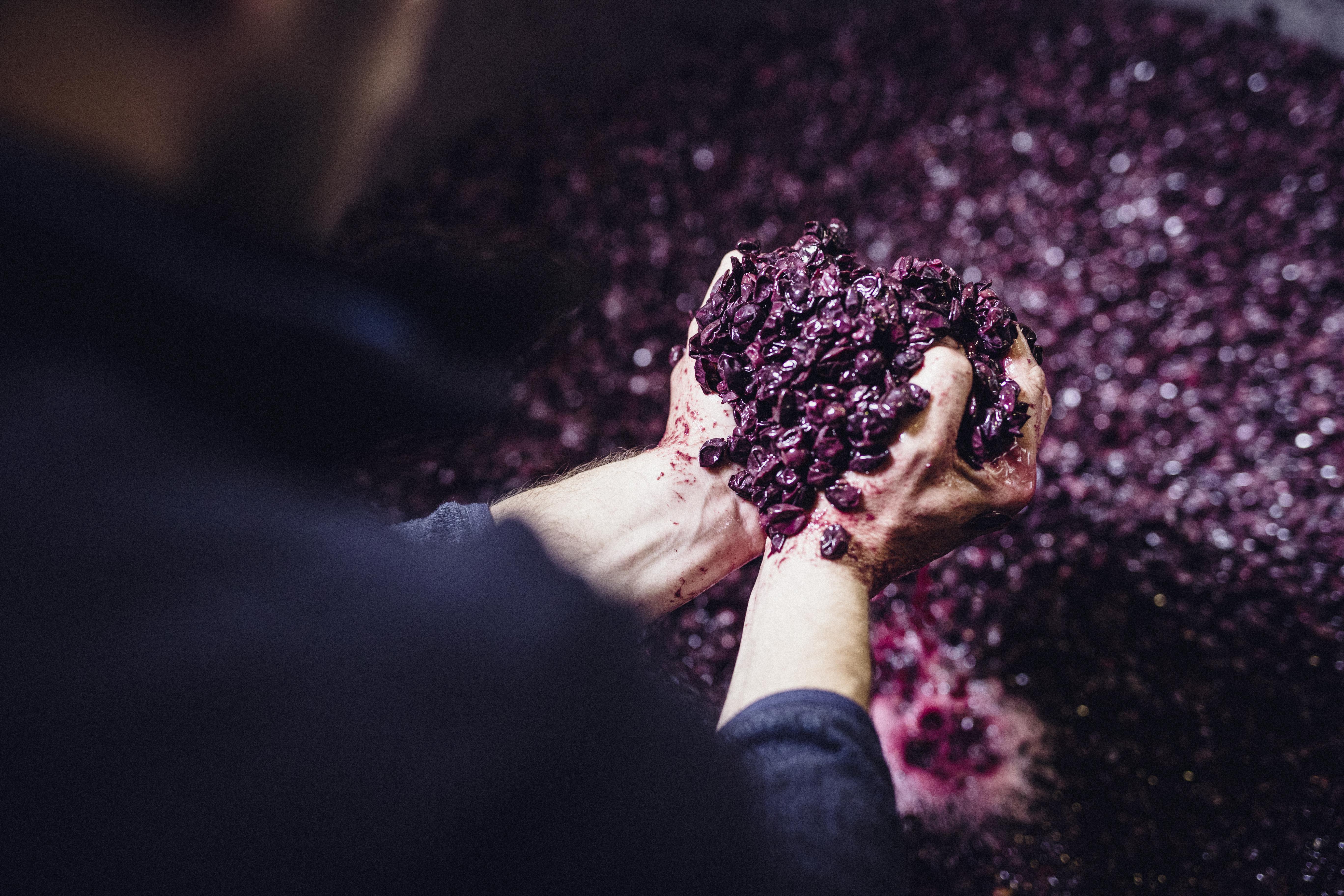 Hvor stammer Pinot familien fra?