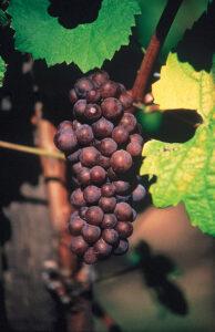 Pinot Gris drueklase med sit blegrøde skind