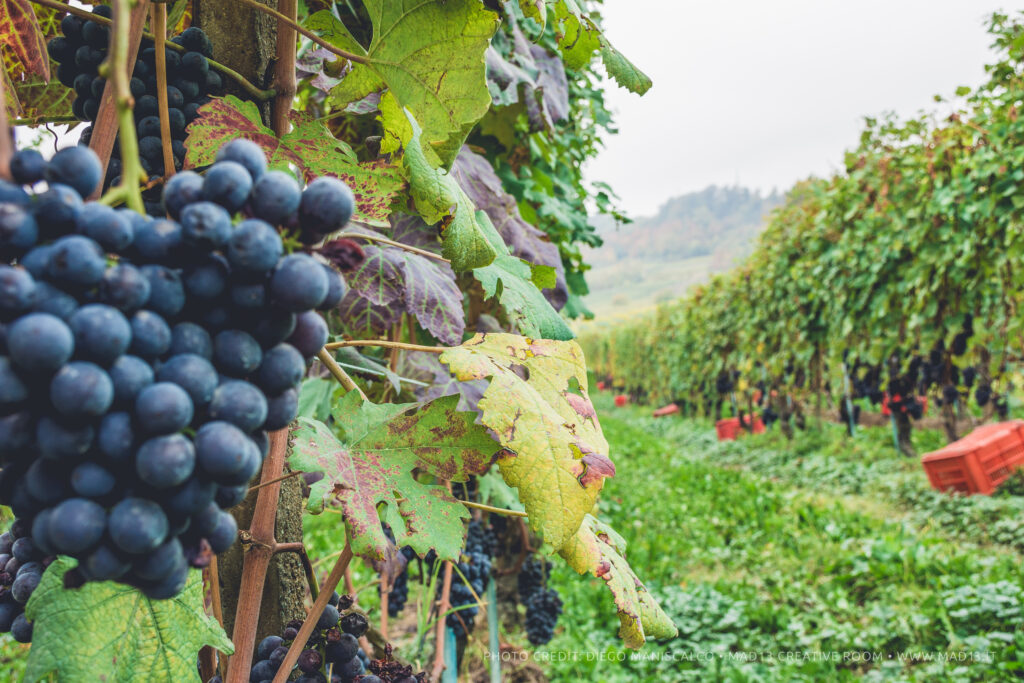 modne nebbiolo druer på en mark i Barolo