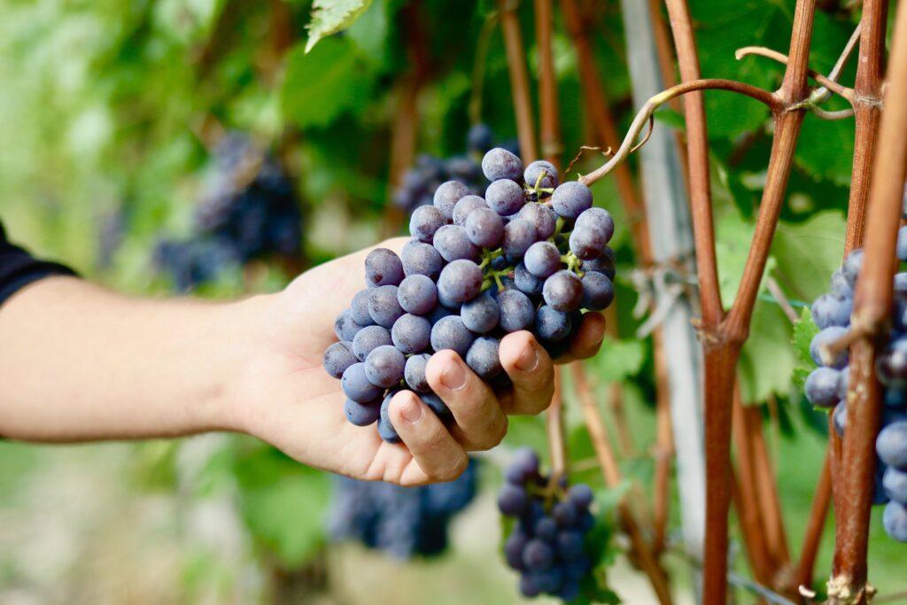 høst af nebbiolo druer i Barolo