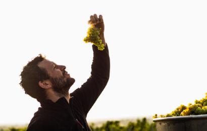 Chardonnay druens historie