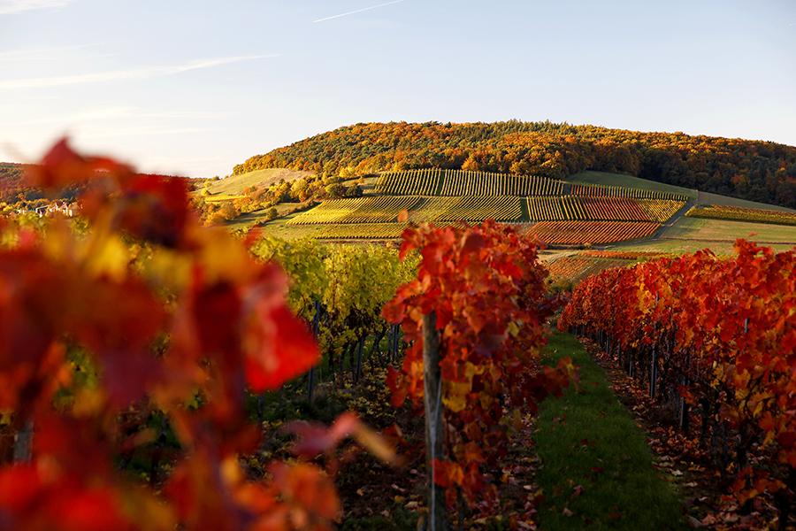 Marken Eichelberg hvorfra Steitz henter Pinot Noir fra en jordbund bestående af Porfyr-sten